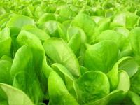 baby butter lettuce